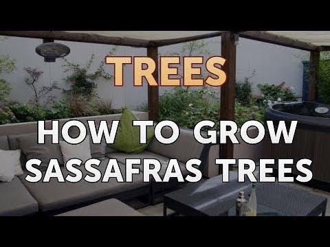 How to Grow Sassafras Trees