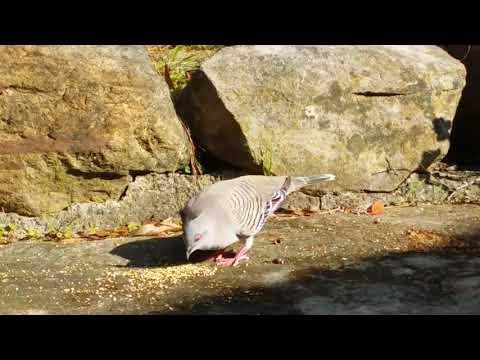Crested ( cartoon ) pigeon