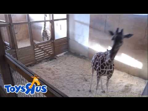 birth baby giraf April