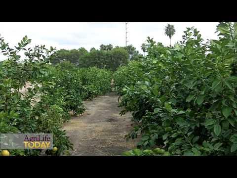 Retired scientist ignites 'Orange Revolution' to fight citrus greening