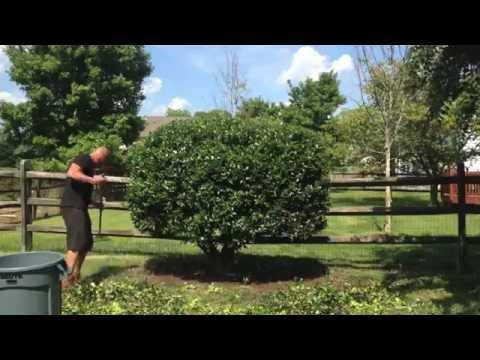 Pruning A Big Holly Shrub