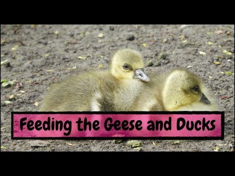 Feeding the Geese and Ducks