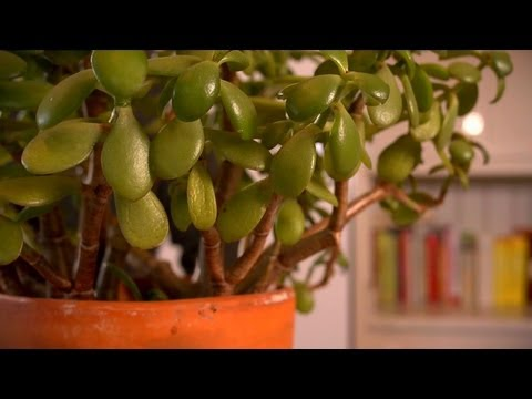 Propagating Jade Plants   At Home With P. Allen Smith