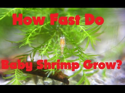 The Life Cycle Of The Shrimp: How Fast Do Baby Shrimp Grow (Growth Rate)
