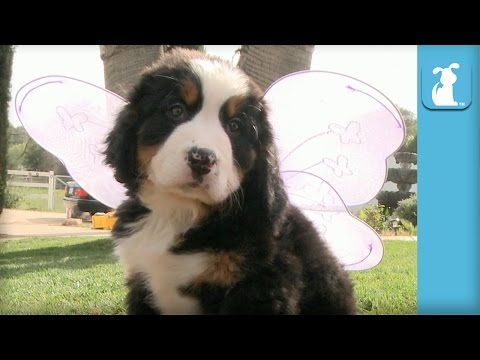 Bernese Mountain Puppy Grows Wings, Doesn't Learn To Fly - Puppy Love