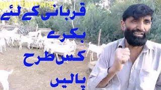 Gulabi bakra Qurbani | rajanpuri goat farm | world no 1 gulabi goats