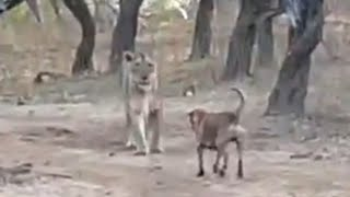 Stray dog - Lioness fight in Gir forest of Gujarat