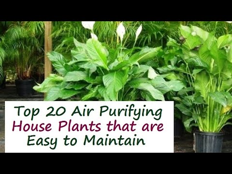 Top 20 Indoor House Plants for Air Purification