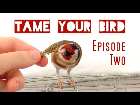 How to make your bird eat from your hand – Goldfinch & Canary