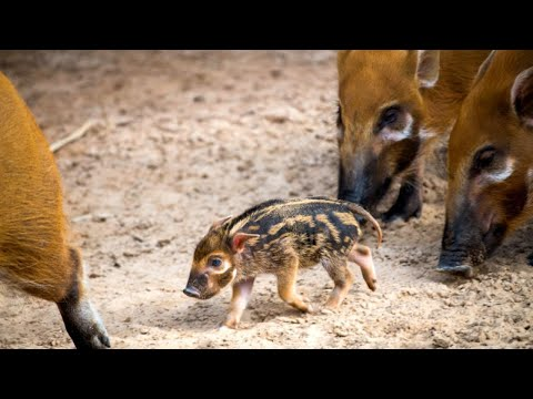 Newborn Hog With Sweet Human-Like Eyes Loves Being the Only Baby in Town