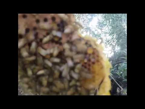 Live Bee removal from tree trunk