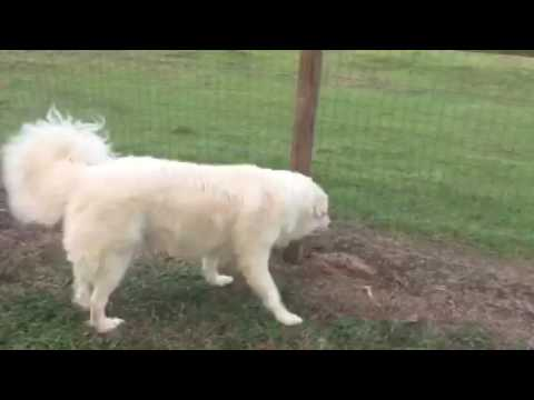 Electric fence shocks one year old puppy.