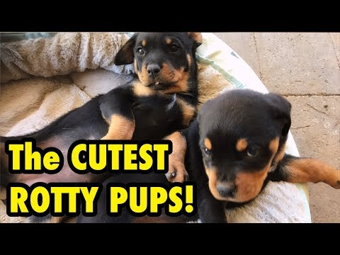 New Rottweiler Pups - 1st Day at home with us!