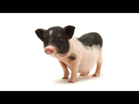 Myth of Mini Pigs & Micro Pigs | Pet Pigs