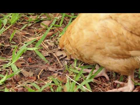 How to Raise Backyard Chickens with Keith Bramwell