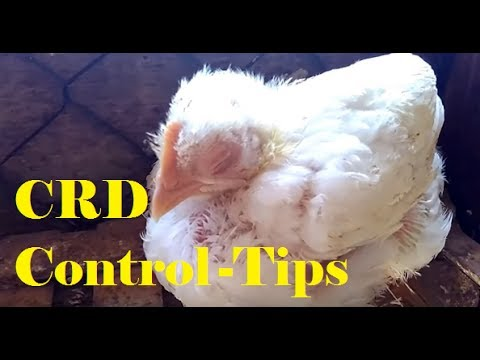 पोल्ट्री प्रचालन में CRD बीमारी नियंत्रण !अंत नहीं देखा तो पछतावोगे |Mycoplasma in Poultry