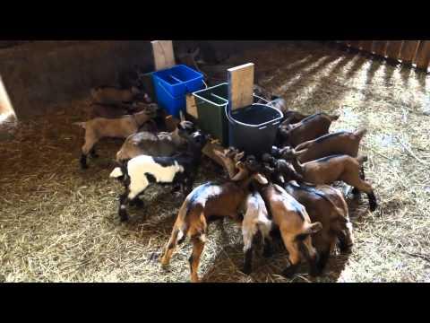 Feeding Baby Goats