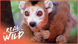 Crowned Lemurs And The Crocodile Caves [Survival Documentary]   Wild Things