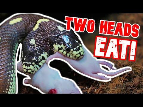Xxx Mp4 BOTH HEADS EAT TWO HEAD SNAKE RARE FEEDING FOOTAGE BRIAN BARCZYK 3gp Sex