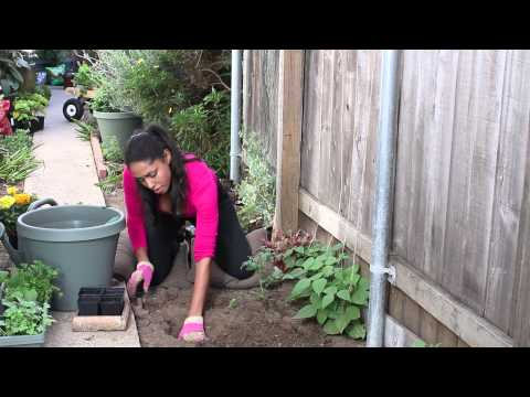 How to Plant Marigolds to Protect Tomatoes : The Chef's Garden