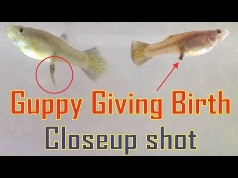 Xxx Mp4 Guppy Giving Birth Livebearers 3gp Sex