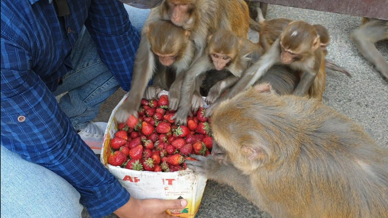feeding 18 kilogram Strawberry to the lovely monkey    sweet strawberry fruit feeding video