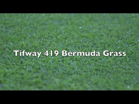 Tifway 419 Bermuda Grass