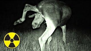✅ Что сняла скрытая камера ночью в Припяти? Волки напали на нас в Чернобыльской Зоне?