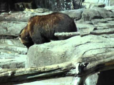 Indianapolis Zoo Bear Eats Raccoon