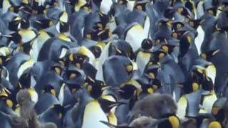 King penguins | Attenborough: Life in the Freezer | BBC