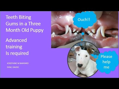 Lower Canine Teeth Biting Gums of Top Jaw in a 3 month old Puppy