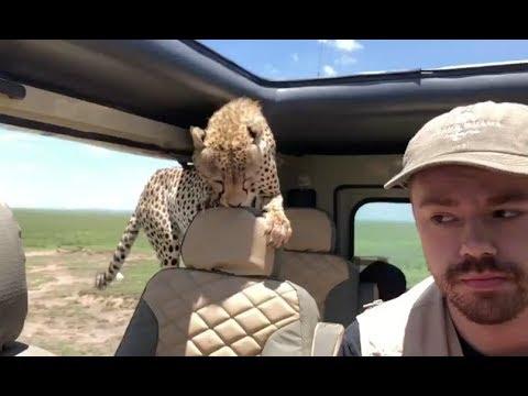 Man survives close encounter with cheetah during safari in Tanzania
