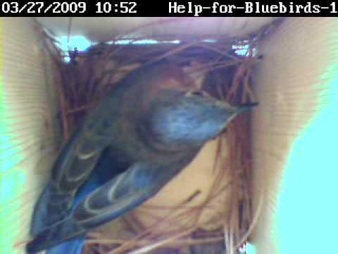Bluebirds building nest in nestcam box 03-27-2009