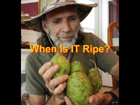 When Is It Ripe?  When Do You  Pick Pears?