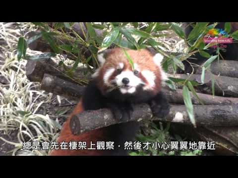 小貓熊寶寶快斷奶-食性轉換調皮照舊 Baby Red Pandas Learn To Eat Bamboo Leaves