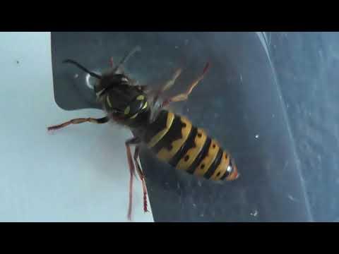 Two wasps [ close up views ]