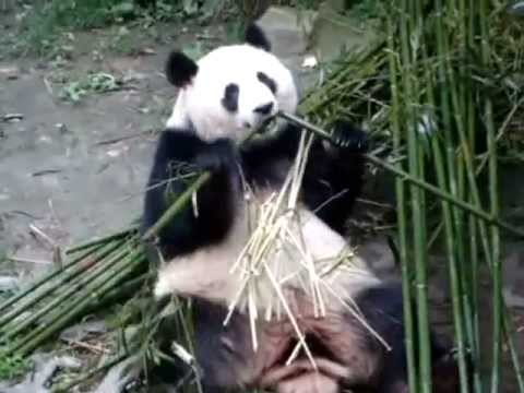 Awesome fat Panda eating =]]