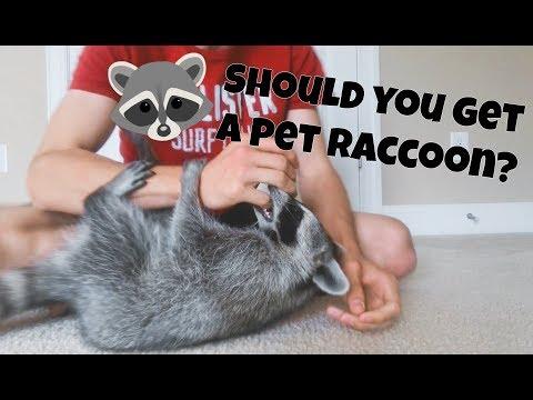 Should You Get a Pet Raccoon?