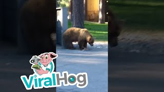 Brown Bear Dumpster Diving in South Lake Tahoe