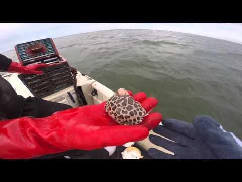 11 big stone crab claws 1 14 16