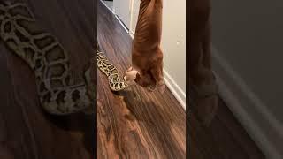 Rocky (Python) 🐍 Having Dinner 🍽😋 !!! (READ DESCRIPTION)