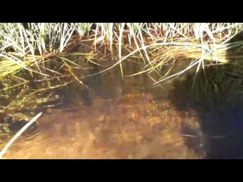 Fish in Golden trout creek