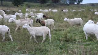 Rotational grazing with Dorper Sheep