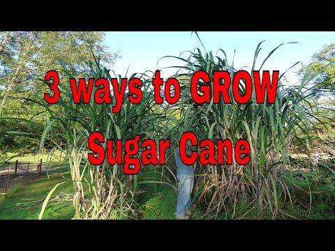 3 Ways to Grow Sugar Cane