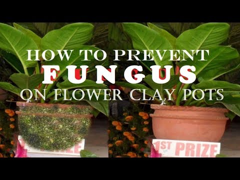 How to make flower clay pot fungus free