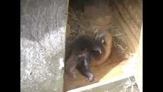 Red panda cub born on Christmas Eve at Auckland Zoo
