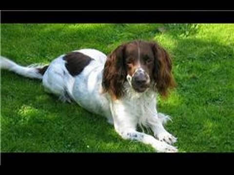 Dog Grooming : How Do I Groom a Springer Spaniel?