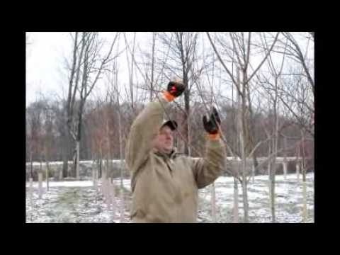 How to Prune Your Small Maple Trees