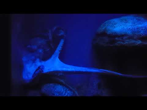 Live octopus extending his arms