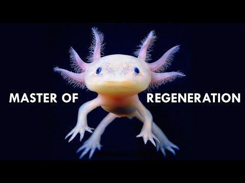 Axolotls are Masters of Regeneration